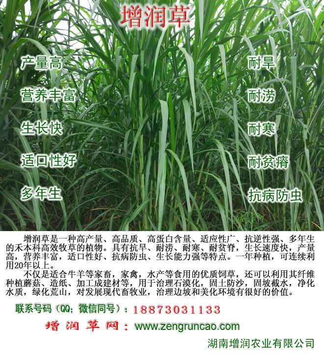 增��草、皇竹草、甜象草、�t象草