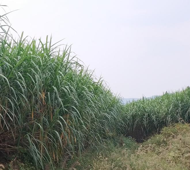 多年生牧草越冬管理措施
